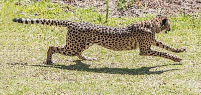 Photograph - Cheetah Running Across by William Bitman