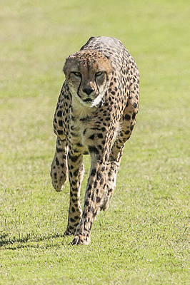 Photograph - Cheetah Running Toward You by William Bitman