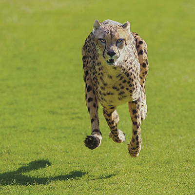 Photograph - Cheetah Running Toward You With All Four Paws Off The Ground by William Bitman
