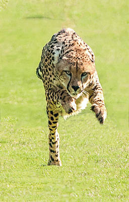 Photograph - Cheetah Running Toward You With His Paws Stretched In Front by William Bitman