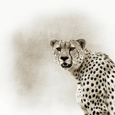 Photograph - Cheetah Sepia Closeup Square by Susan Schmitz