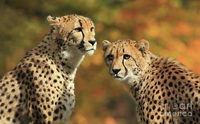 Photograph - Cheetah Siblings by Art Cole