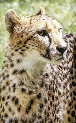 Photograph - Cheetah Spots by Athena Mckinzie