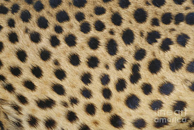 Designs In Nature Photograph - Cheetah Spots by George D. Lepp