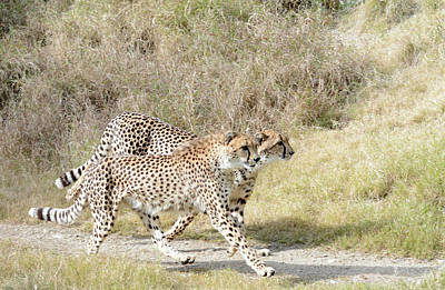 Photograph - Cheetah Trot 2 by Fraida Gutovich