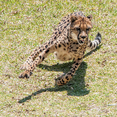 Photograph - Cheetah Turning At Full Speed by William Bitman