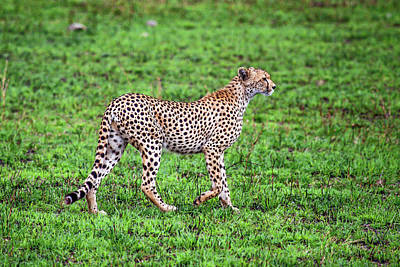 Photograph - Cheetah Walking by Sally Weigand