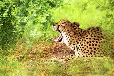 Photograph - Cheetah Yawning In Woods by Susan Schmitz