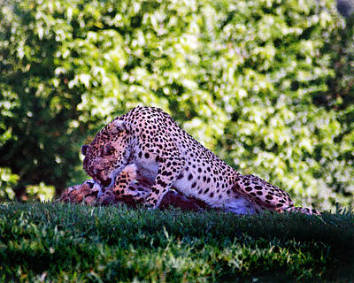 Photograph - Cheetahs In Love by Steve Karol