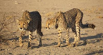 Photograph - Cheetahs by Katie McConnachie
