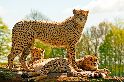 Cheetahs Three Art Print