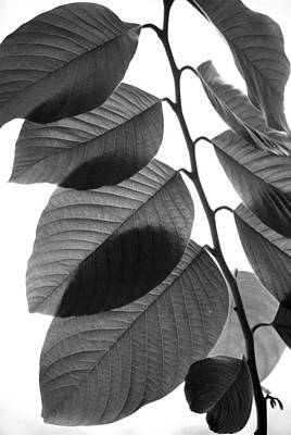 Chermoya Foliage Art Print by Nathan Abbott