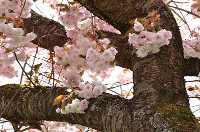 Photograph - Cherrey Tree Trunk And Blossoms  by Martin Stankewitz