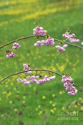 Photograph - Cherry Accolade Blossom by Tim Gainey