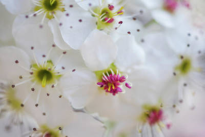 Cherry Blooms Art Print by Darren White