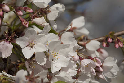 Art Print featuring the photograph Cherry Blossom 1 by Lisa Missenda