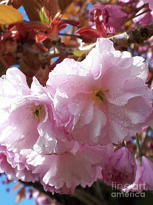 Photograph - Cherry Blossom After Rain by Brenda Kean