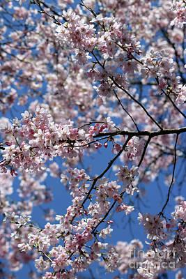 Photograph - Cherry Blossom Against Blue Sky by Julia Gavin