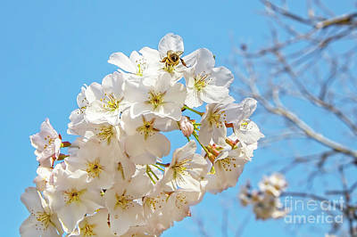 Photograph - Cherry Blossom And A Bee by Kay Brewer