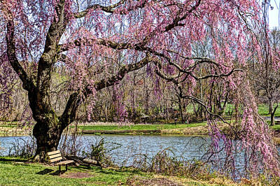 Cherry Blossom And Bench  Art Print by Geraldine Scull