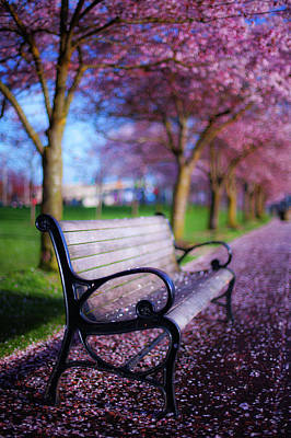 Royalty-Free and Rights-Managed Images - Cherry Blossom Bench by Darren White