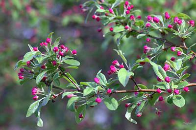 Photograph - Cherry Blossom Blooms by Deborah  Crew-Johnson