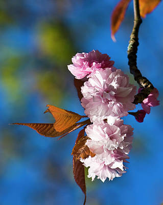 Photograph - Cherry Blossom  by Brian Roscorla