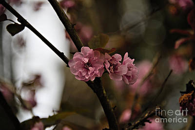 Photograph - Cherry Blossom  by Cendrine Marrouat