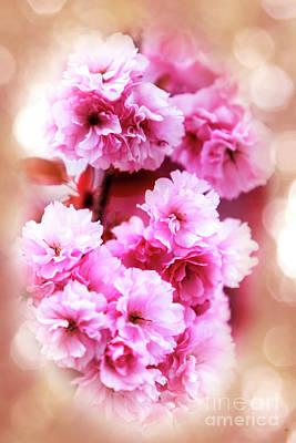 Photograph - Cherry Blossom by David Millenheft