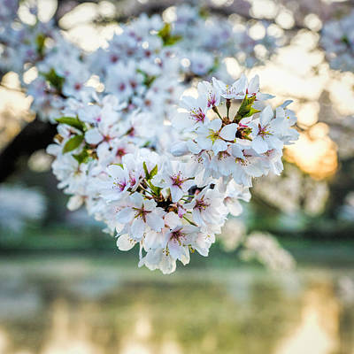 Photograph - Cherry Blossom Detail No 3 by Chris Bordeleau
