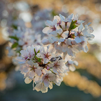 Photograph - Cherry Blossom Detail No 4 by Chris Bordeleau
