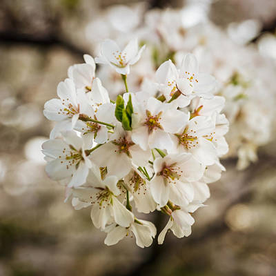 Photograph - Cherry Blossom Detail No 5 by Chris Bordeleau
