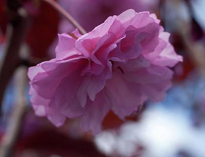 Photograph - Cherry Blossom by Devon LeBoutillier