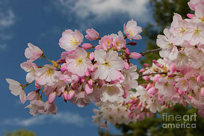 Photograph - Cherry Blossom Fav 2 by Glenn Franco Simmons