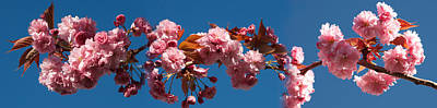 Cherry Blossoms Photograph - Cherry Blossom Flowers by Panoramic Images