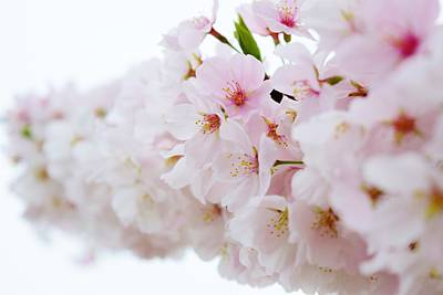 Photograph - Cherry Blossom Focus by Nicole Lloyd
