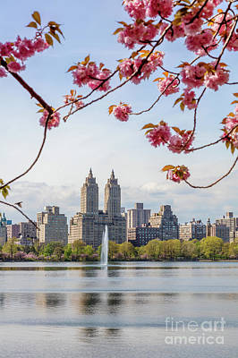 Photograph - Cherry Blossom In Central Park In Spring, New York, Usa by Matteo Colombo