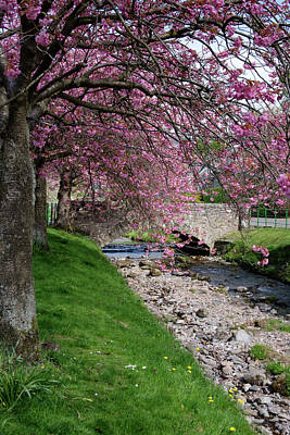 Photograph - Cherry Blossom In Central Scotland by Jeremy Lavender Photography