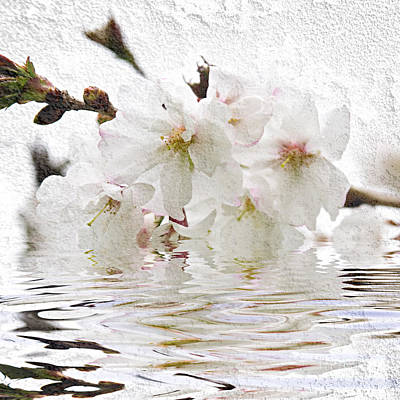 White Background Photograph - Cherry Blossom In Water by Elena Elisseeva