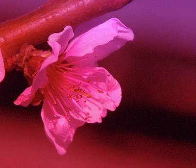 Cherry Blossom Art Print by Jeff Swan