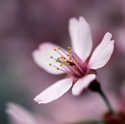 Photograph - Cherry Blossom by Joseph Skompski
