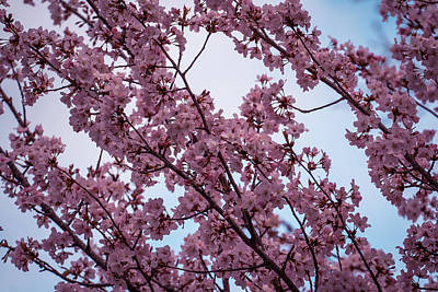Photograph - Cherry Blossom by Lilia D