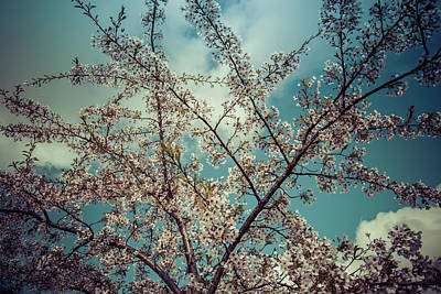 Digital Art - Cherry Blossom by Mike Taylor