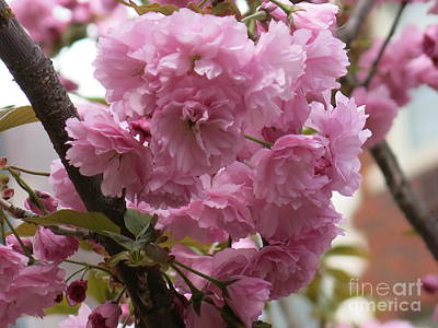 Photograph - Cherry Blossom by Rod Ismay