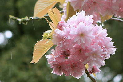 Photograph - Cherry Blossom Secrets by Brandy Little