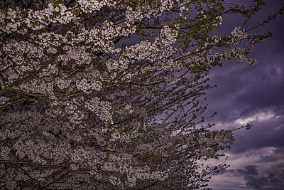 Photograph - Cherry Blossom Sky by Pete Federico