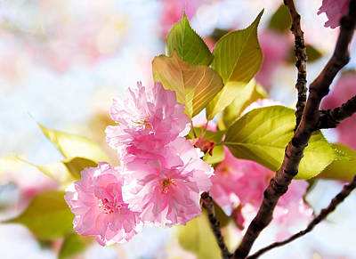 Photograph - Cherry Blossom Spring by Francesa Miller