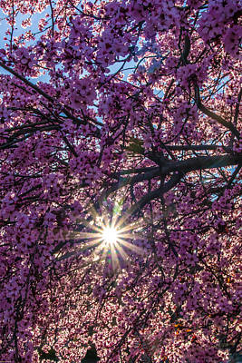 Photograph - Cherry Blossom Sun by Mick Anderson