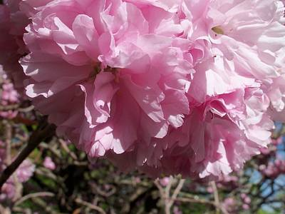 Photograph - Cherry Blossom Time by Nancy Pauling