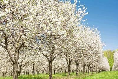 Photograph - Cherry Blossom Time by Patti Raine